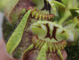 cephalotus_pitcher_project_sm.png
